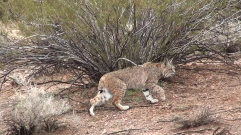 Bobcat Hunting Guides in Arizona, offer the best daylight bobcat hunting experience possible.