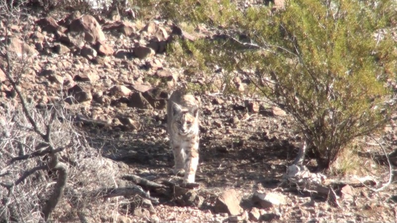 Hunting Bobcats during the daylight with one of the best bobcat hunting guides in the world.